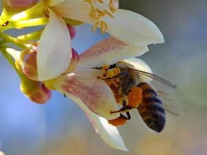 ผึ้ง จริง ๆ ดอก myer มะนาว ต้นไม้