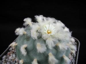 cactus, blooming, flower