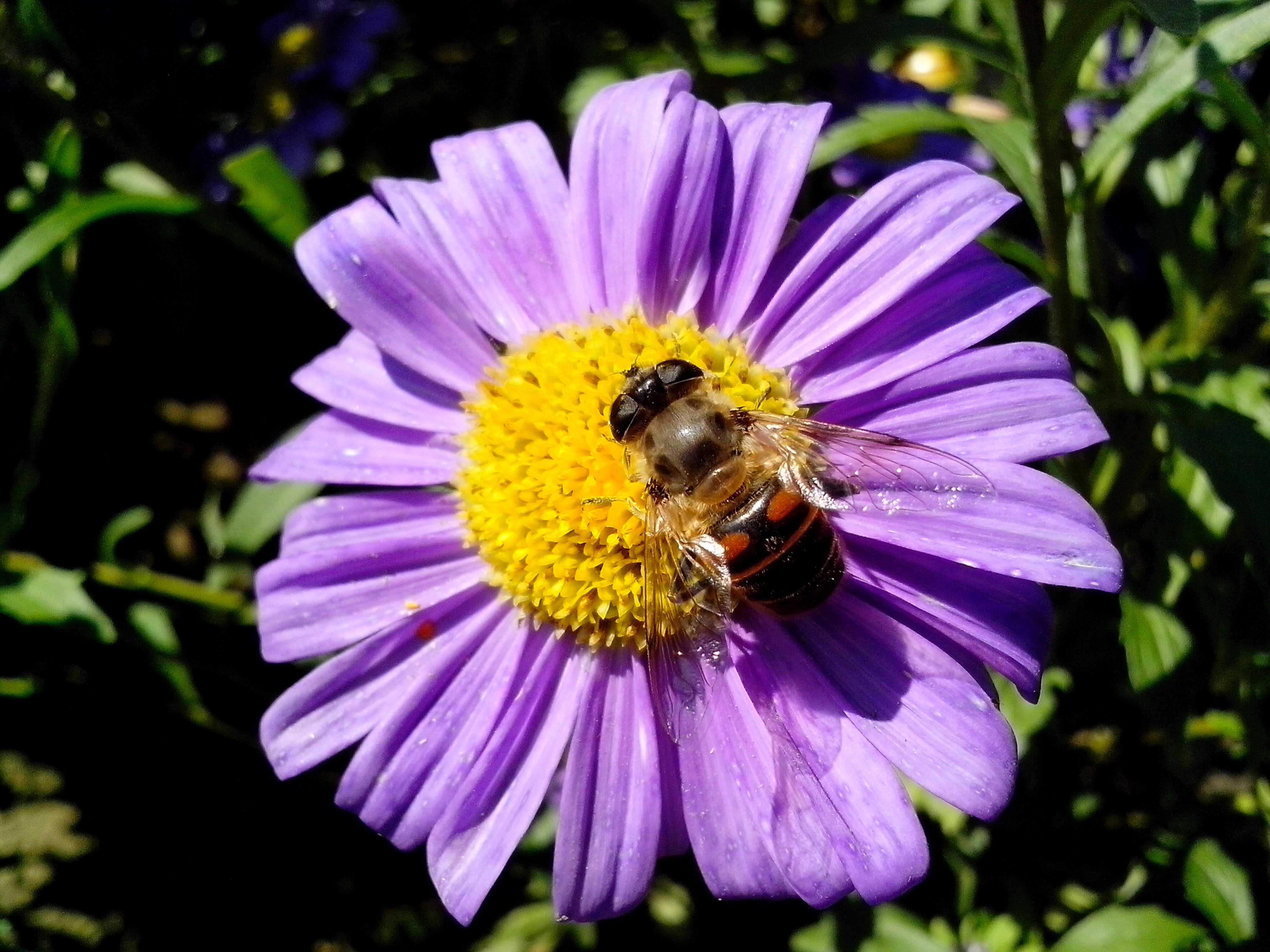 Free photograph; big, insect, purple, flower