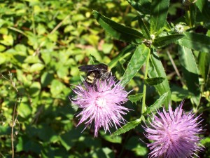 busy, bee, insect
