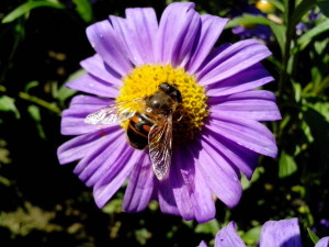 domestic bee, insect, flower