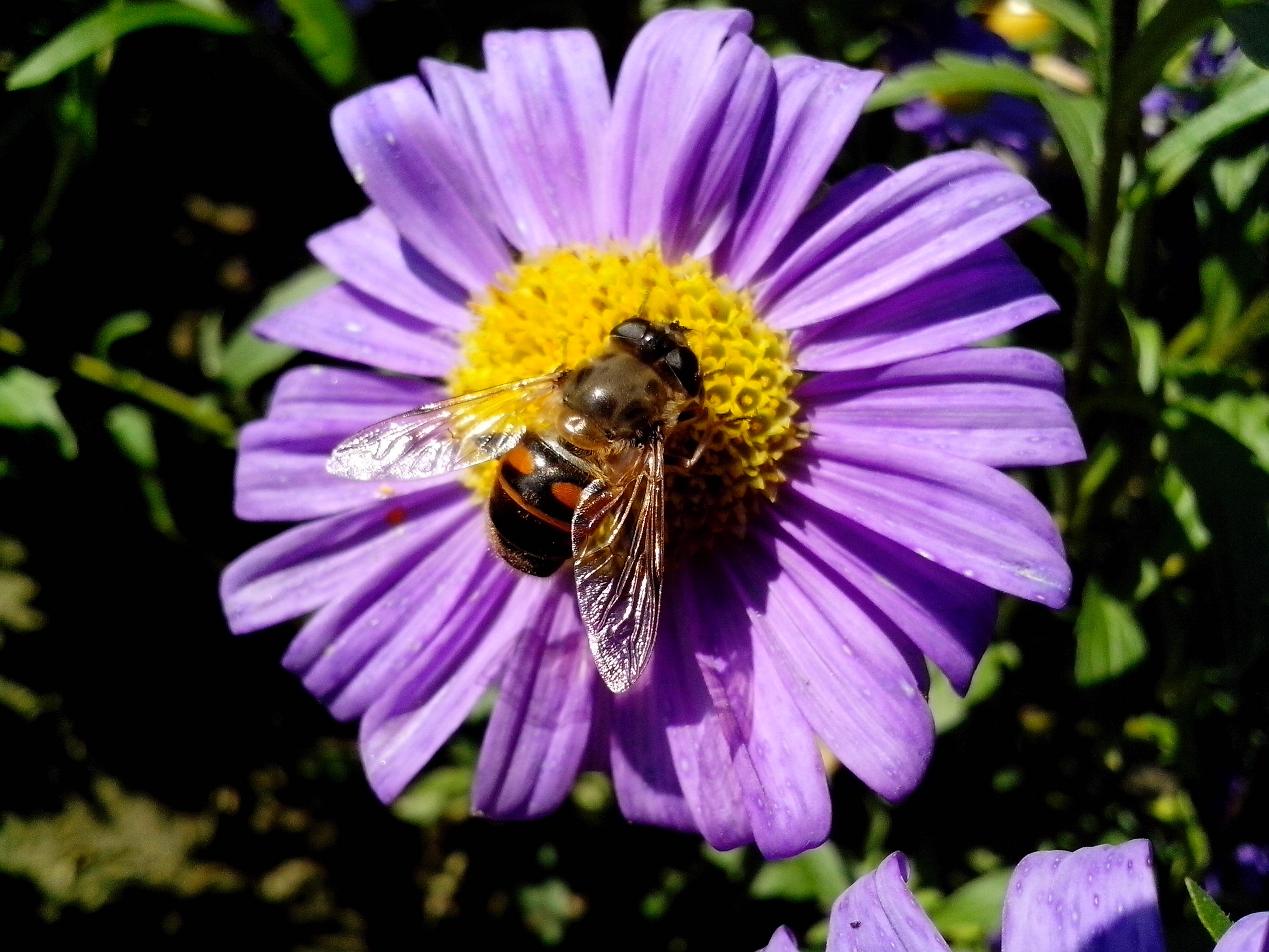 Free photograph; domestic, bee, insect, flower
