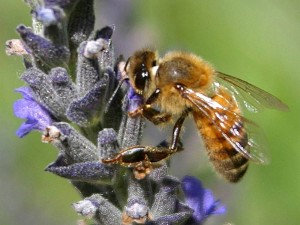 цветя, пчели