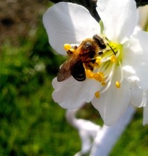 honey, bee, collects, nectar, flower