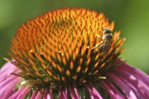 honey, bee, purple, cornflower