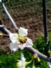 honey, bee, pollinating, cherry, flower