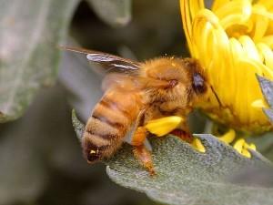 honningbien