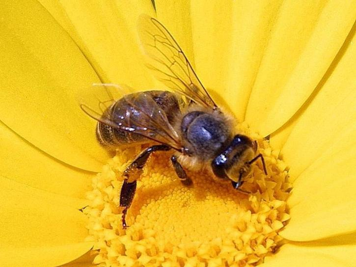 honungsbiet, apis mellifera