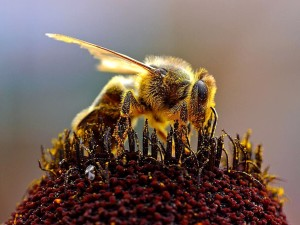 honungsbiet, apis mellifera, bin, Samlande, pollen