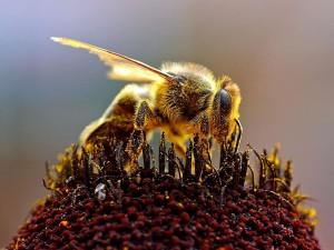 abeja, apis mellifera, abejas, recogida, polen