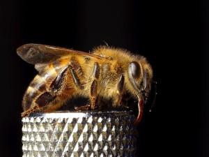 honungsbiet, apis mellifera, marco