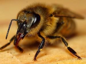 honeybee, insect, apis, mellifera