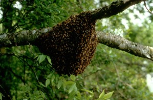 nuclei, honey, bees, nest, branch