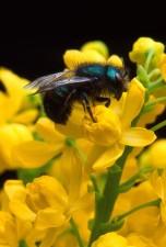 Osmia, ribifloris, bi, Berberis, blomst