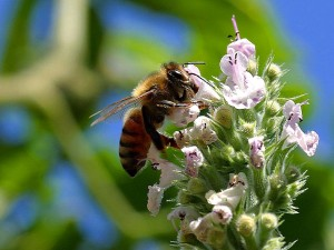 pollinisatrices, les abeilles