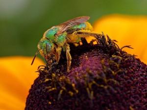 sueur, abeille