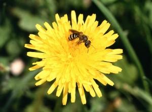 sueur, abeille, pissenlit