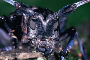 Anoplophora, glabripennis, азиатски, longhorn, бръмбар