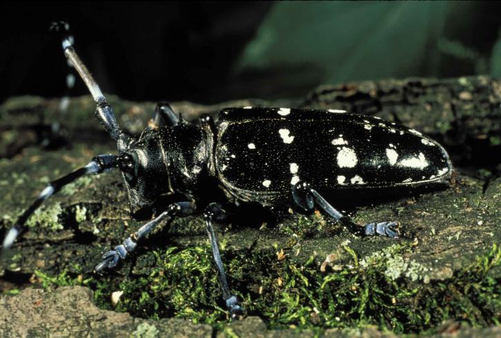 Asian, longhorn, beetle, anoplophora glabripennis, invasive