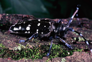 Asian, longhorn, beetle, invasive