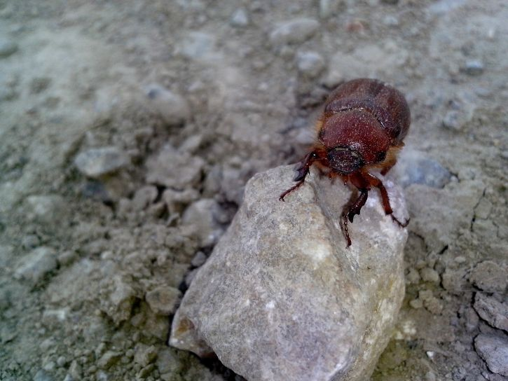 big, red, beetle, insect, ground