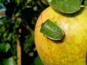 крупным планом, зеленый, Жук, яблоко