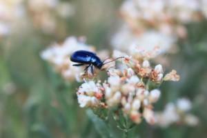 eriogonum, pelinophilum, flower, beetle, alicia, langton