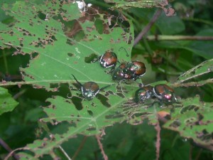 japanese, beetles, wild, grape, vine