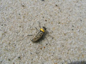 northEaster, beach, tiger beetle, insect