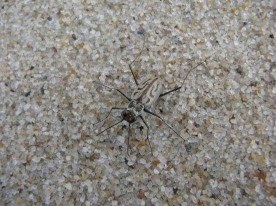 northbeach, tiger beetle, bug, cicindela dorsalis dorsalis