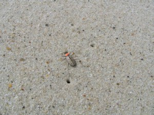 Northbeach, tiger Bille, cicindela dorsalis dorsalis
