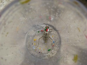 northbeach, tiger beetle, insect