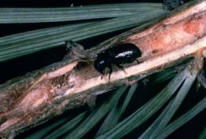 pine, shoot, beetle, bug, insect, tomicus, piniperda