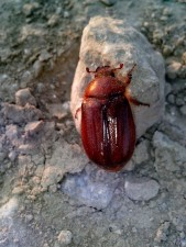 rojo, escarabajo, insecto