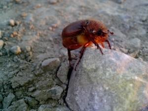 rojo, escarabajo, insecto, roca
