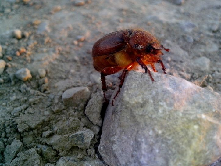 red, beetle, insect, rock