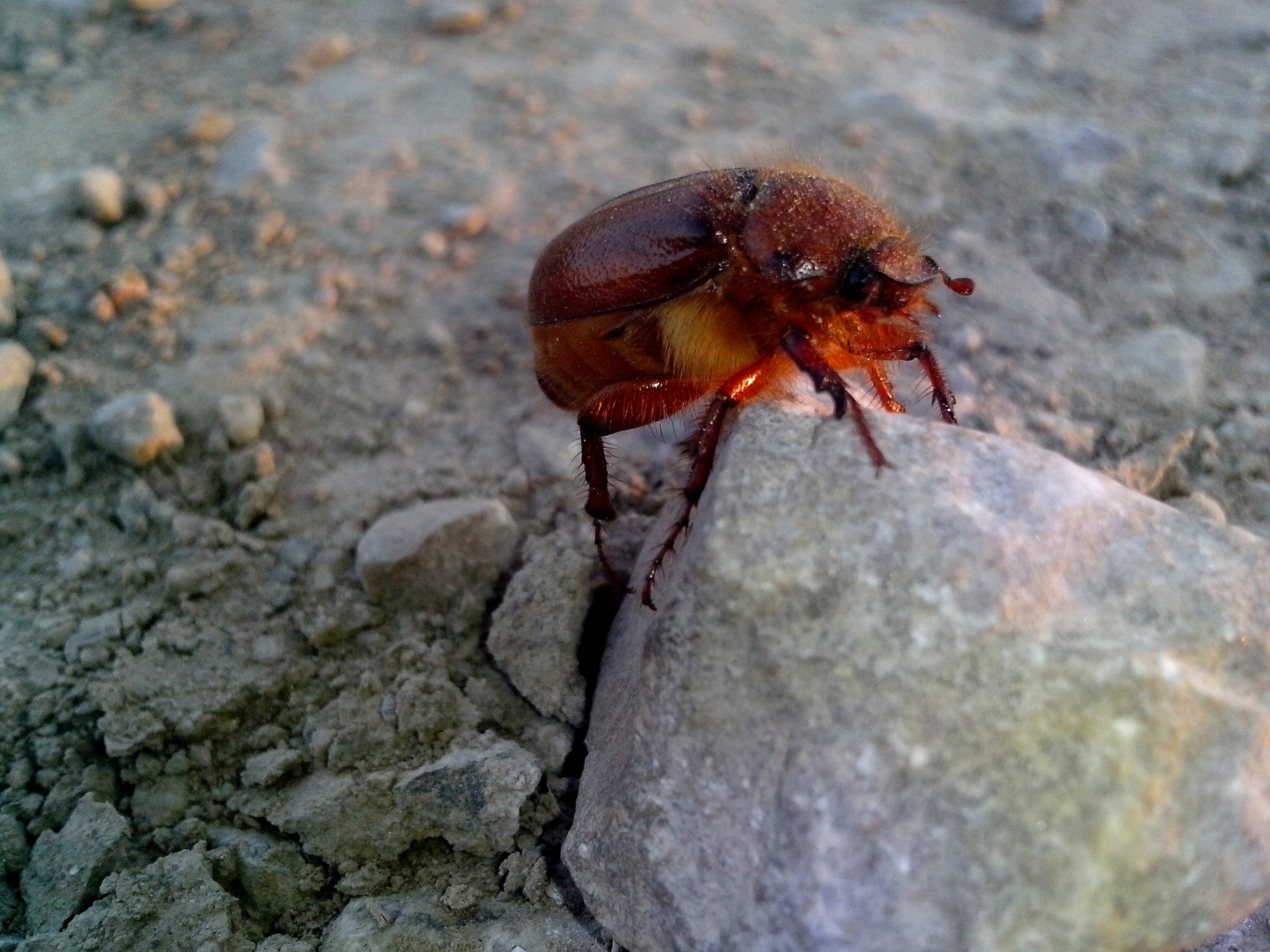 Free photograph; red, beetle, insect, rock