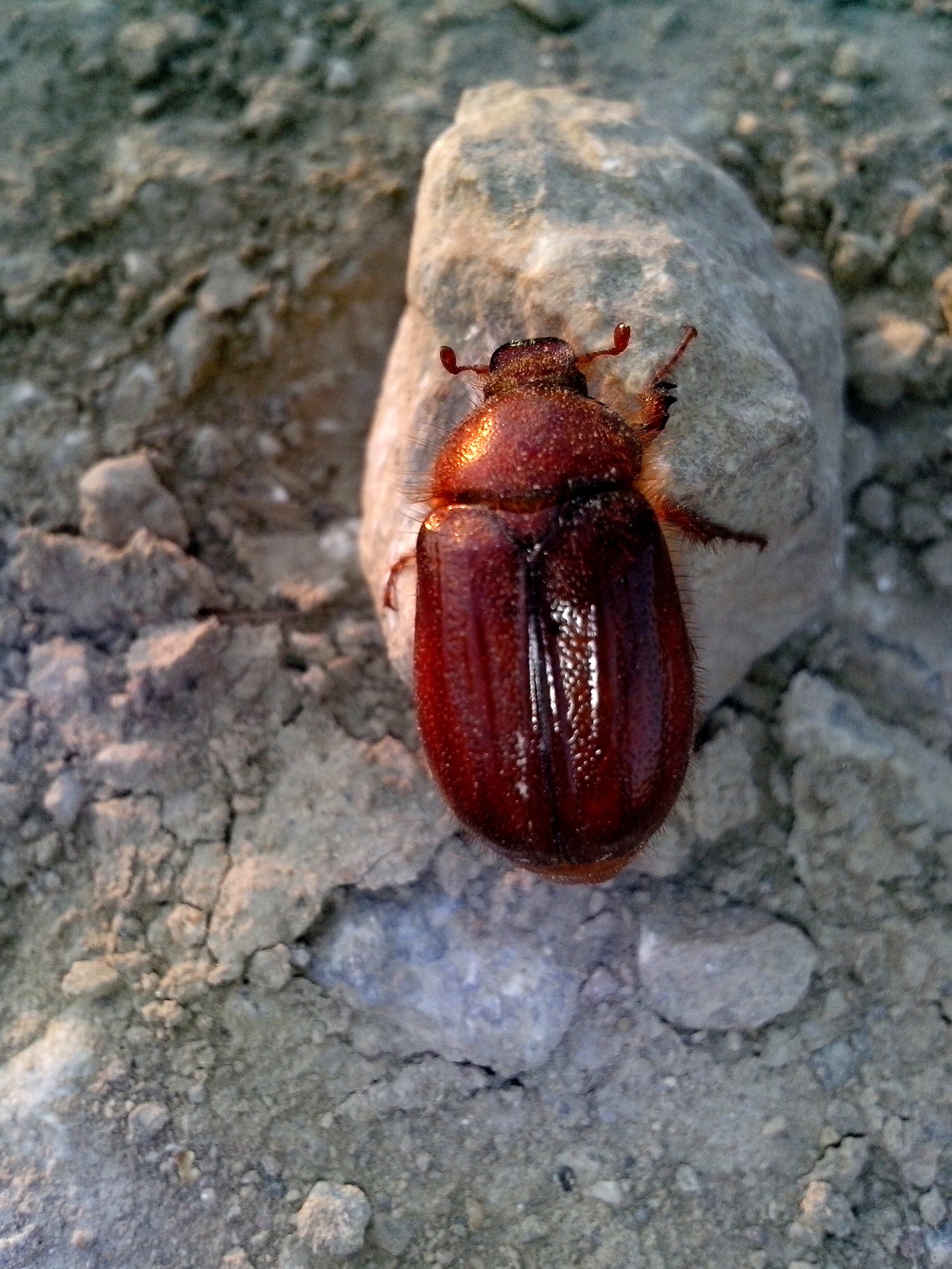 Free photograph; red, beetle, insect