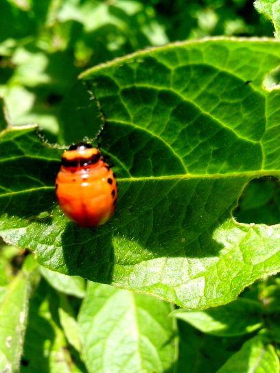 gusano de la raíz, escarabajo