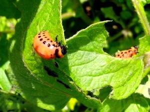 gusano de la raíz, escarabajo de la patata, insectos,