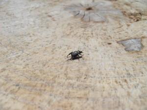 small, black, beatle, tree, stump