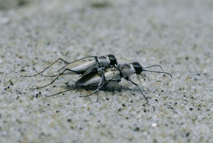two, northbeach, tiger beetles, beach, cicindela, dorsalis, dorsalis