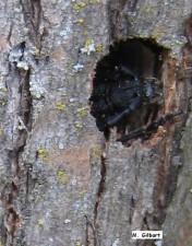 долина, Бъз, longhorn, бръмбар, застрашени, насекоми