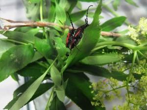 山谷, 接骨, 牛角, 甲虫