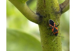 big beetle, insect, milkweed