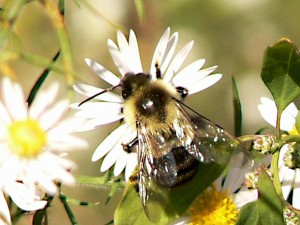 bombus, terrestris, bumblebee