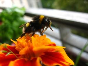 bombus, terrestris, prise, nectar
