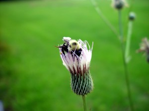 bumble, abeille, chardon, fleur
