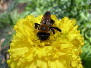 bumble, bee, yellow flower