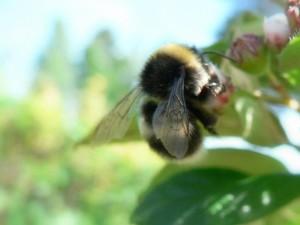 bumblebee, collecting, polen